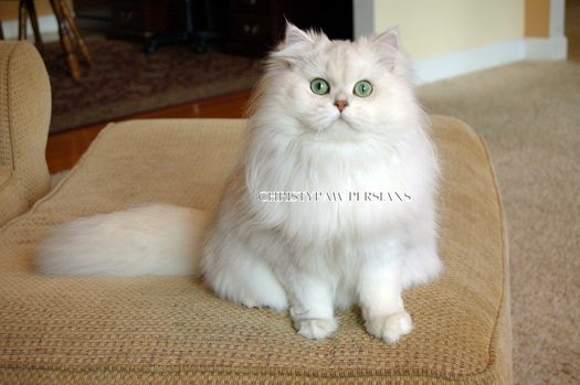 Silver Chinchilla Persian kittens for sale