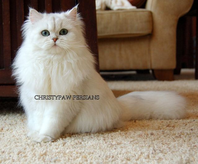 Silver Chinchilla Doll Face Persian kittens for sale