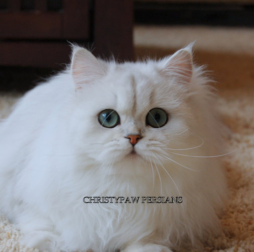 Doll Face chinchilla silver Persian kittens for sale