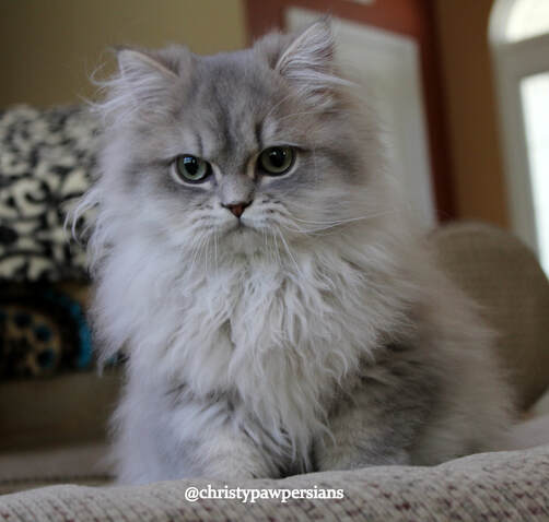 Blue Golden Persian kittens for sale