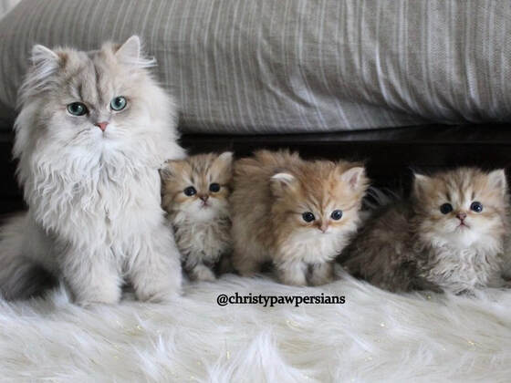 Doll face Persian kittens for sale