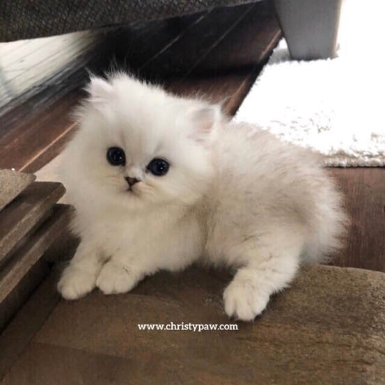 Silver Shaded doll face persian kittens for sale