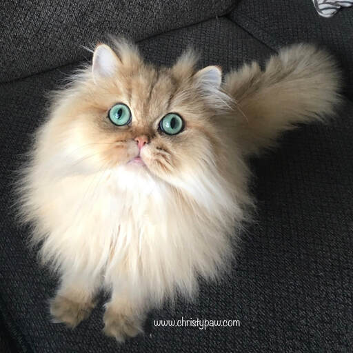 golden chinchilla persian doll face cat