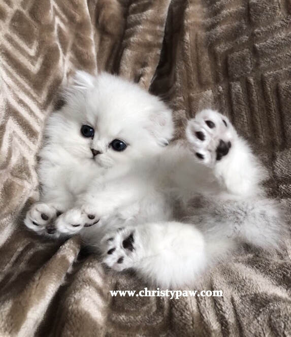 Shaded Silver doll face Persian kittens for sale