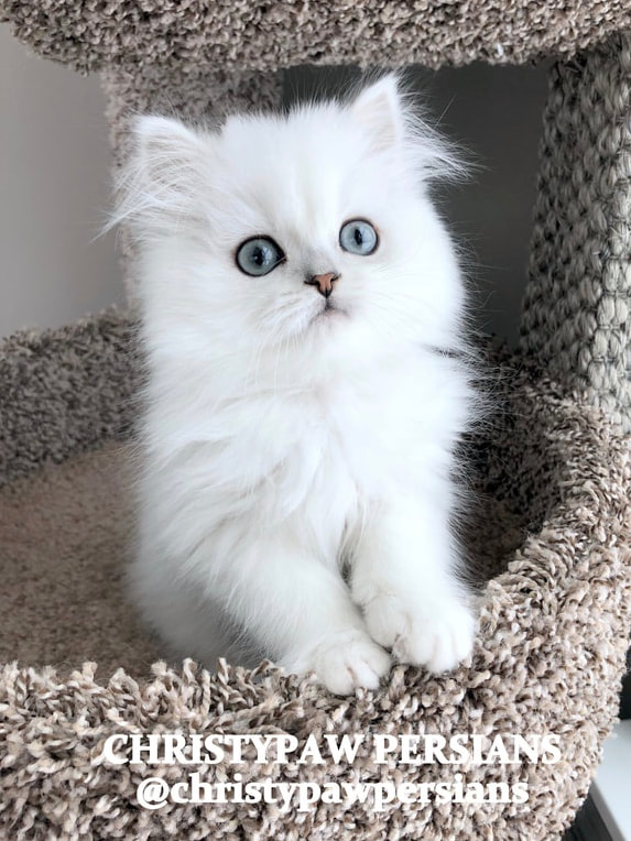 chinchilla persian kittens for sale