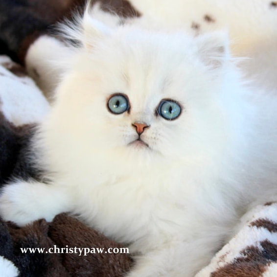 Chinchilla Silver white and Golden Persian kittens for sale
