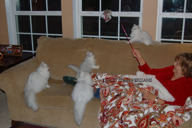 Teacup Silver Persian kittens for sale