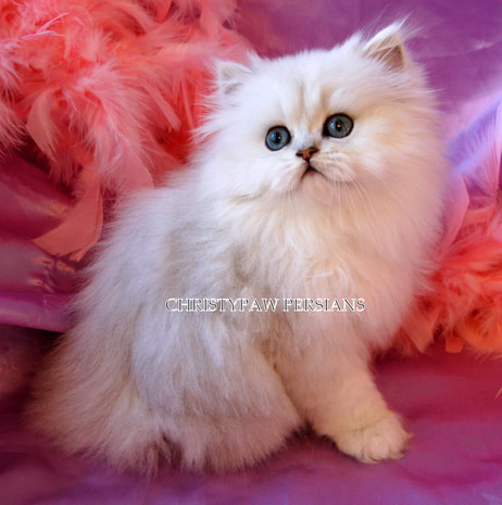 Silver Doll Face Persian kittens for sale
