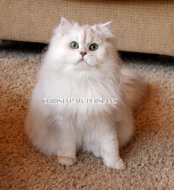 Chinchilla Silver Persian Cat