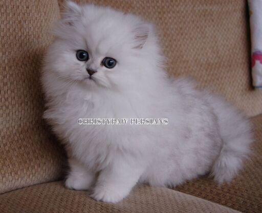 silver shaded persian cat for sale