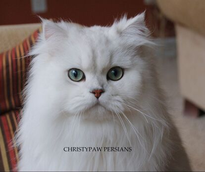 Doll Face Silver Chinchilla Persian Cat