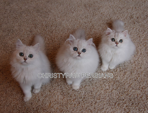 Silver Shaded Chinchilla persian kittens for sale