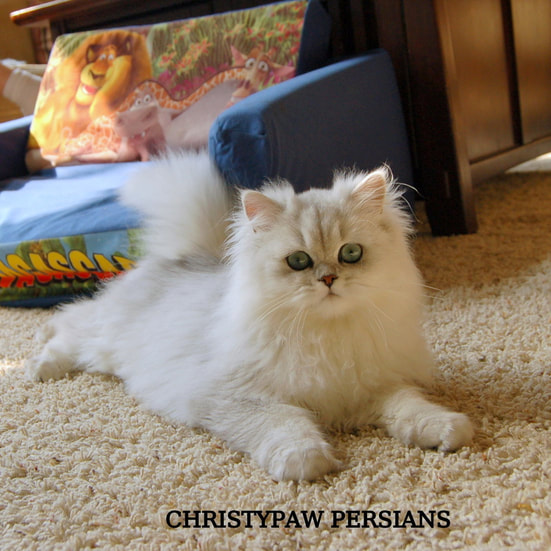 Tecup Silver persian kittens for sale