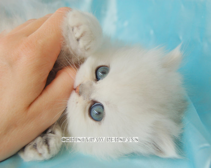Teacup chinchilla doll face persian kittens for sale