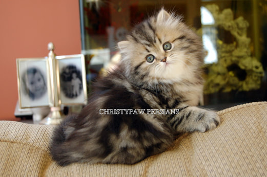 Golden tabby Persian kittens for sale