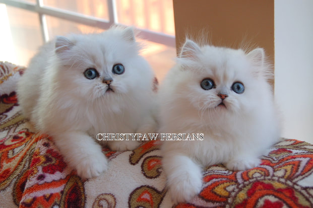 White chinchilla Persian kittens for sale