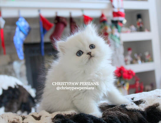 white chinchilla silver persian kittens for sale