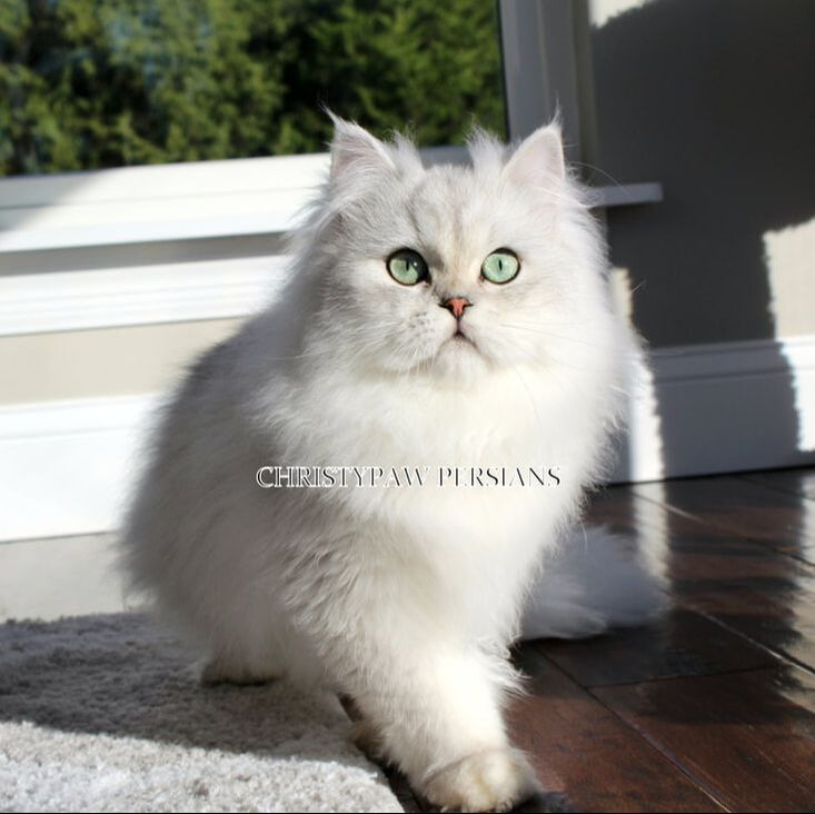Chinchilla Silver Doll Face Persian kittens for sale