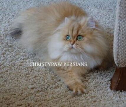 golden chinchilla doll face persian cat