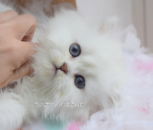 white Chinchilla doll face persian kittens for sale