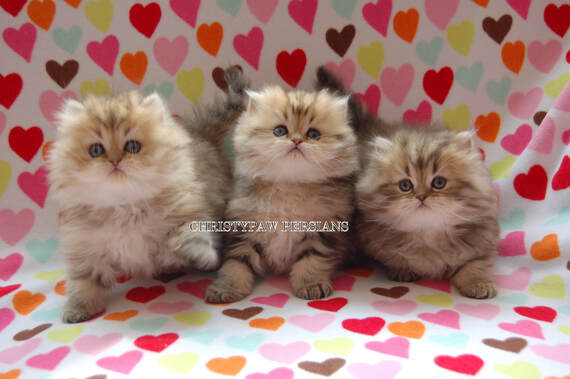 Golden persian kittens for sale