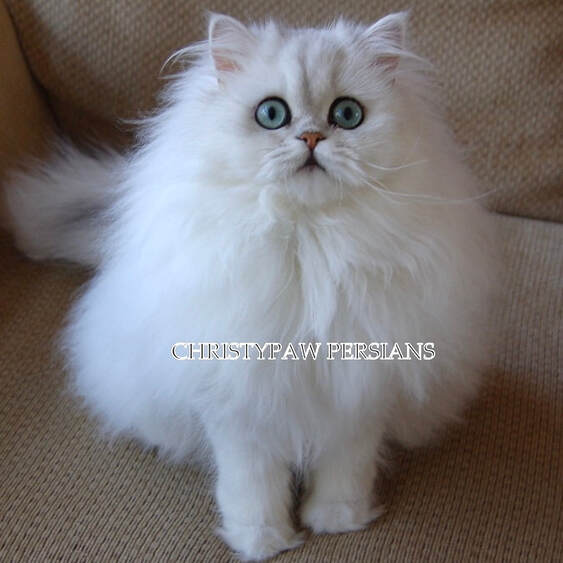 Chinchilla Silver Shaded doll face Persian kittens for sale