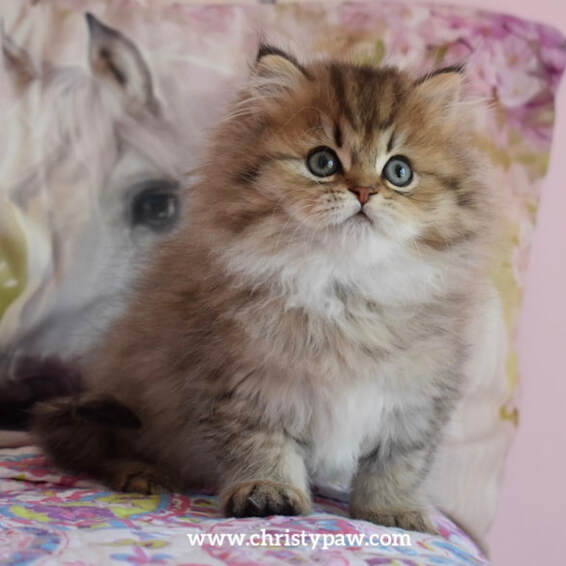 Golden tabby doll face persian kittens for sale