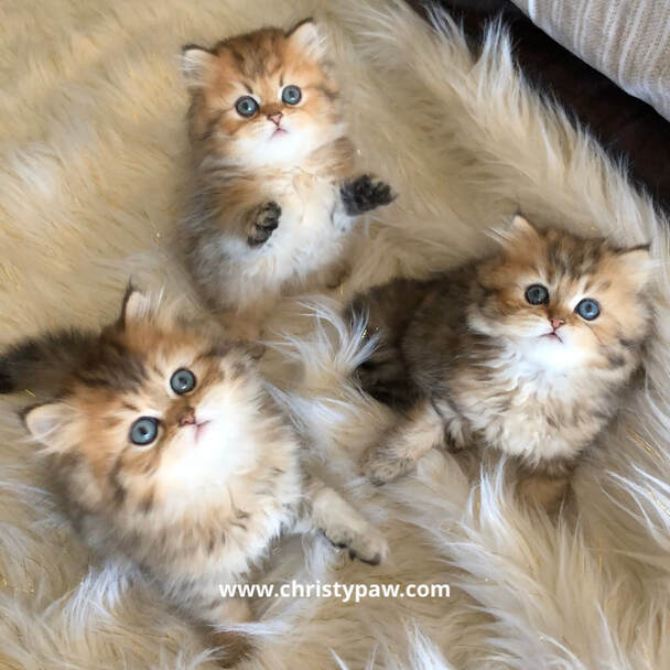 Three golden Persian babies