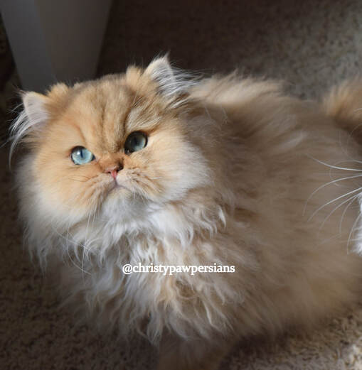 Teacup Ginger persian kittens for sale