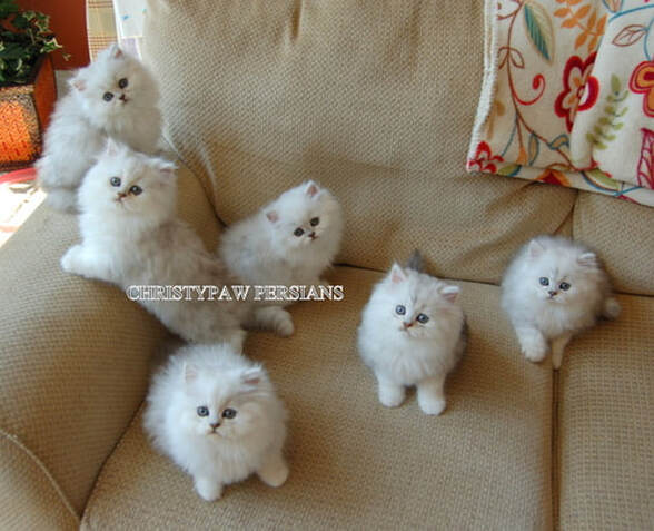 Dollface Persian kittens for sale in Missouri
