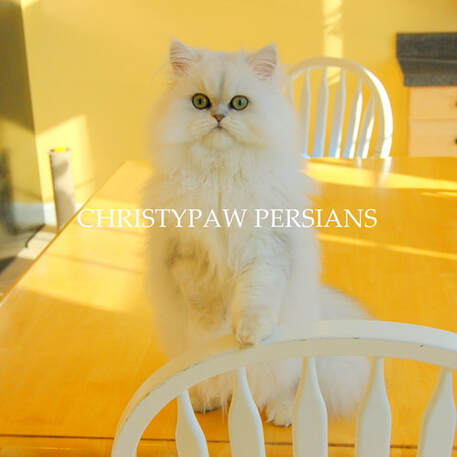 Shaded Silver Persian cat for sale