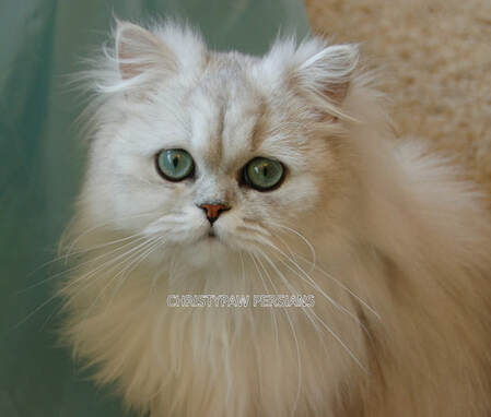 silver shaded doll face persian cat