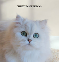 Silver Chinchilla Persian cat